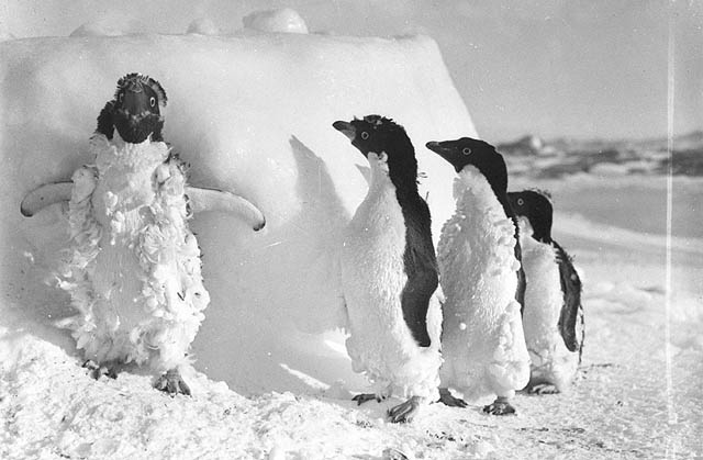 Ice-cased Adelie penguins after a blizzard at Cape Denison. Photo: Frank Hurley/Wikimedia Commons